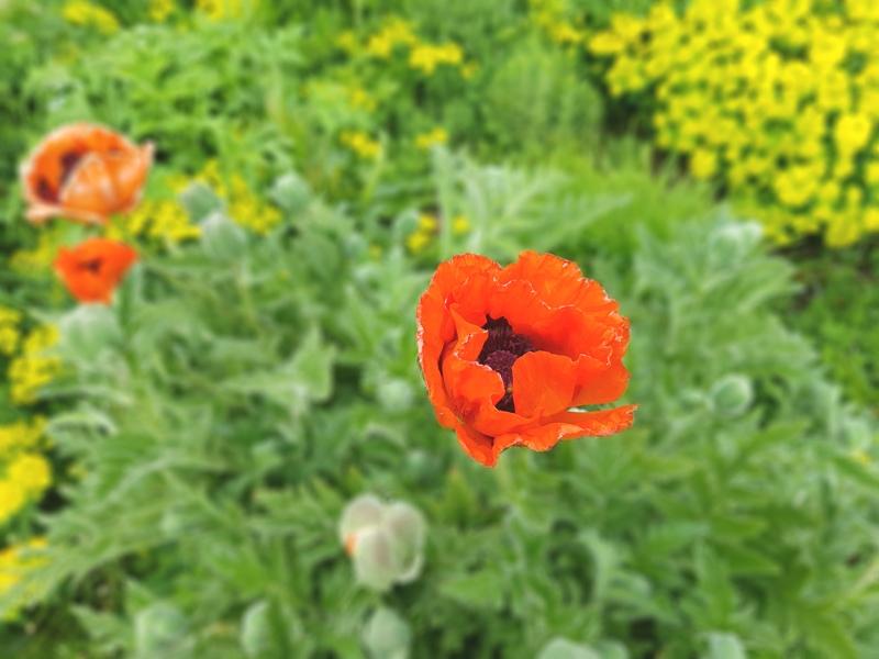 Botanic Garden Oxford Poppy