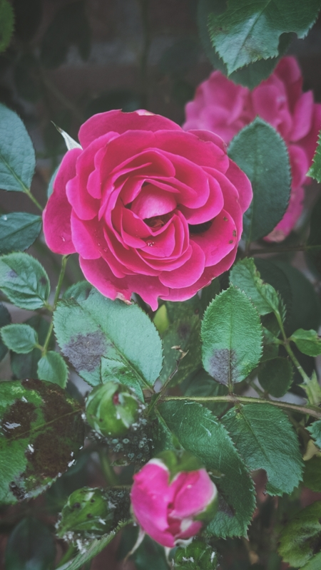 Flower Rose Garden